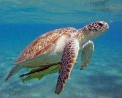 Kaplumbağalar tehdit altında
